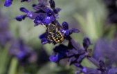wool carder bee on salvia