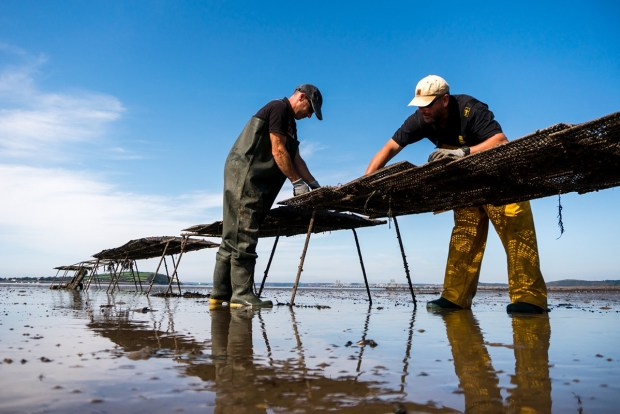 Atlantic Edge Oysters: Oyster Farm Established In Pembrokeshire