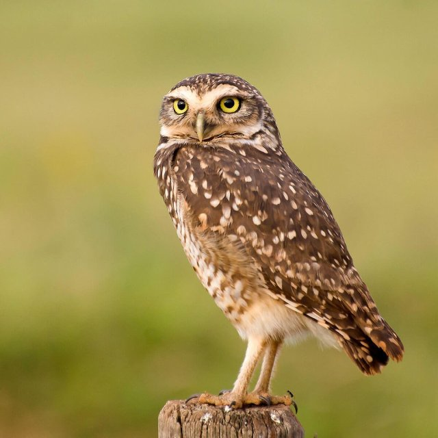 The Florida threatened-species Burrowing Owl