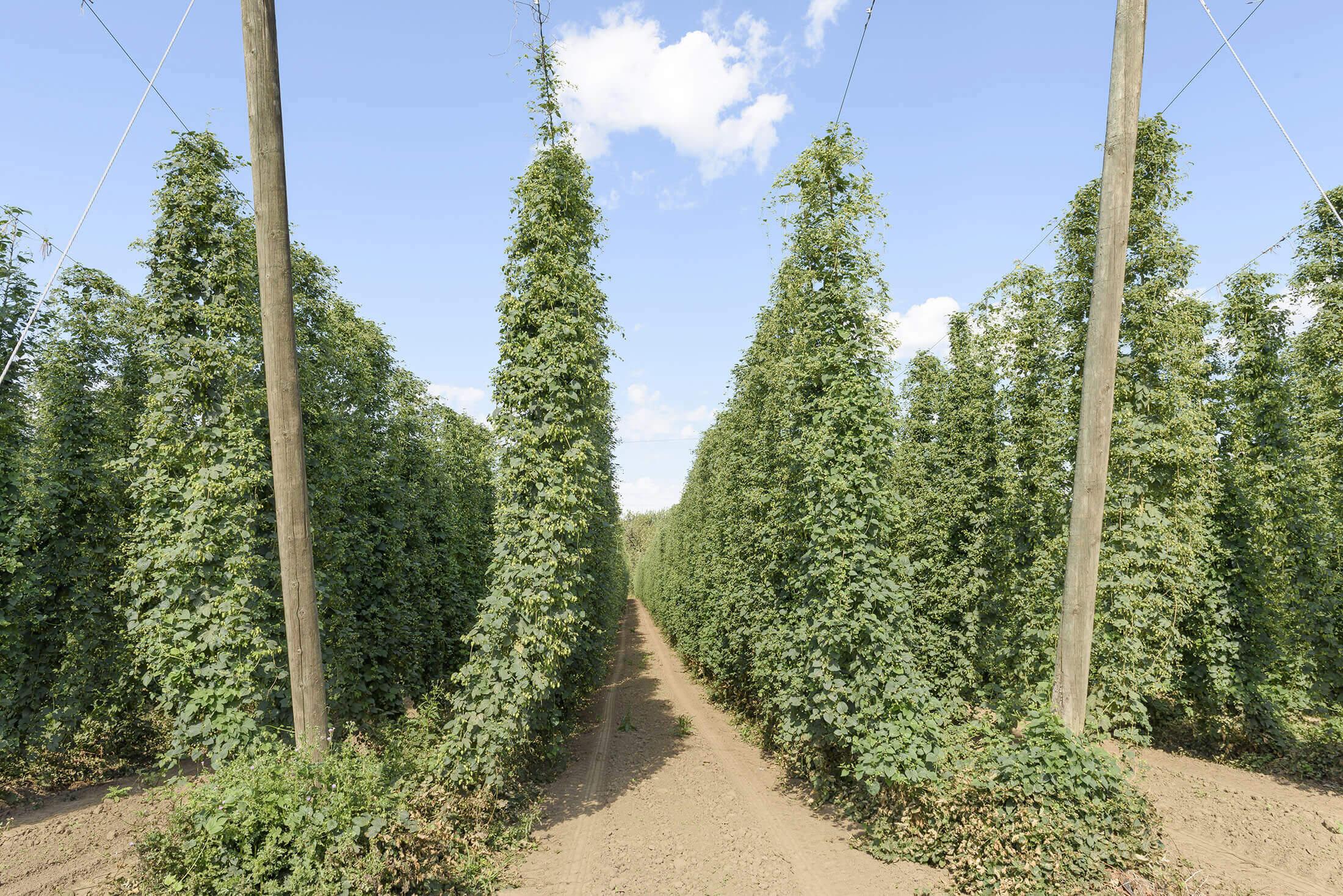 Rows of hops on a farm