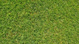A close-up image of a green lawn after fertilization