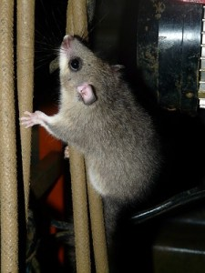 An image of a mouse (one of many types of rodents) crawling up a rope