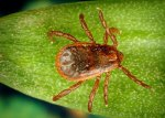 The Brown Dog Tick: What You Need To Know