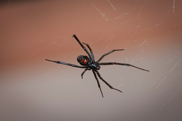 A close-up picture of a Black Widow spider on its web, showing its red hourglass marking as a warning.