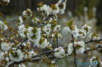 cerezos en flor (Valle del Jerte) (3)