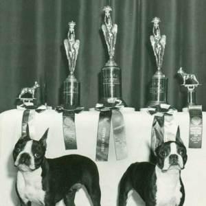 absolutely cosmopolitan boston terrier kutya kennel hungary magyarország