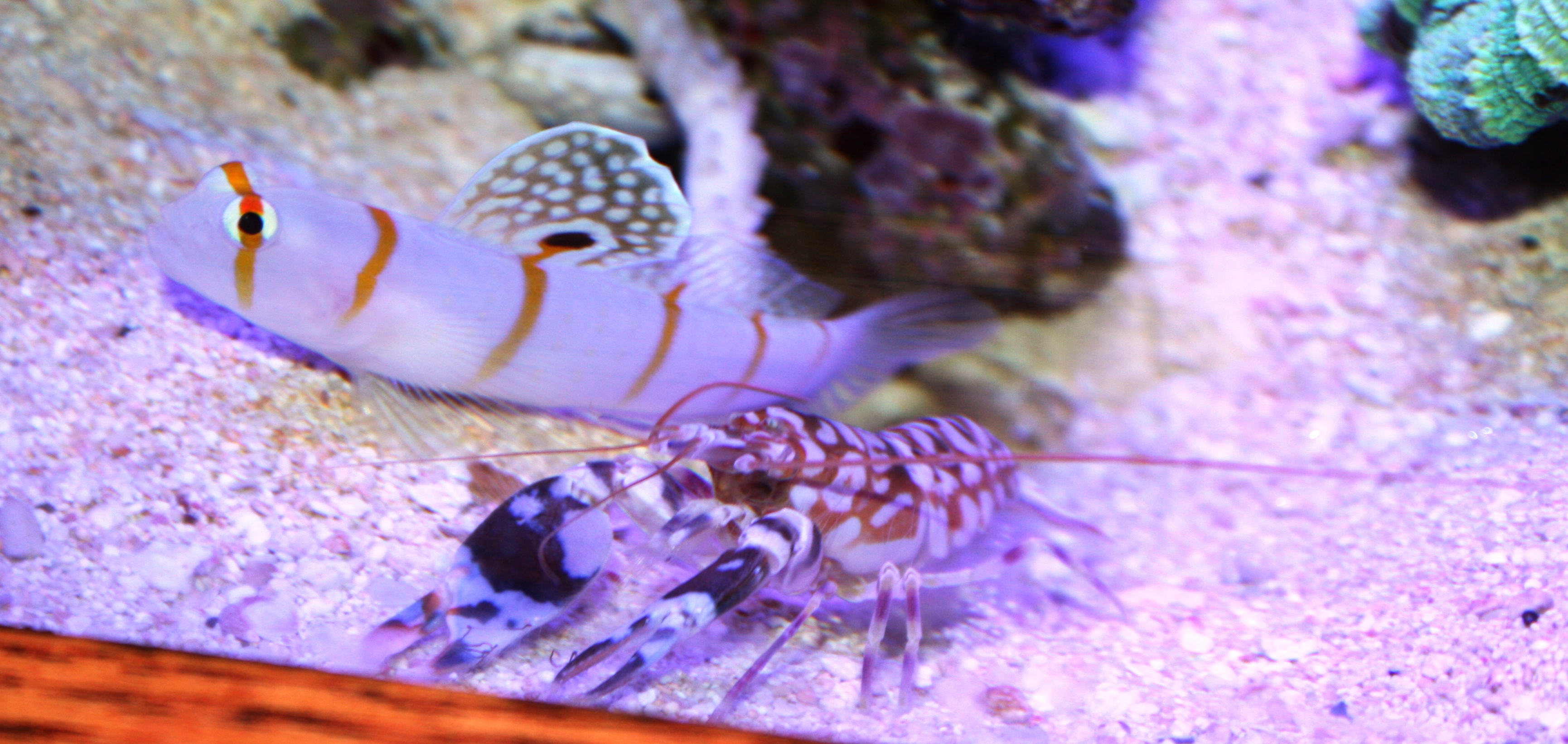 Absolutely Fish Blogs A Strange Pairing Gobies And