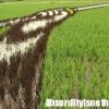 Murales nei campi di riso