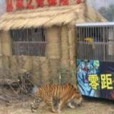 Dentro la gabbia con le tigri per 72 ore