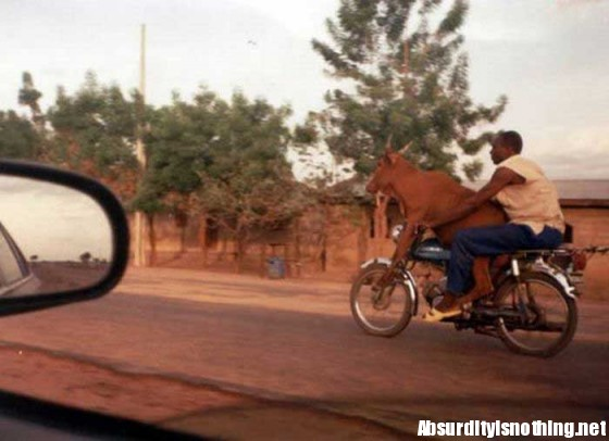 Mucca in Motocicletta