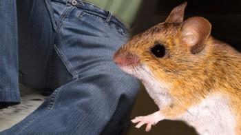 Ratto morde pene a carcerato