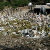 100 tonnellate di marijuana bruciate in Messico (1)