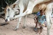 Bimbo allatato da mucca (3)