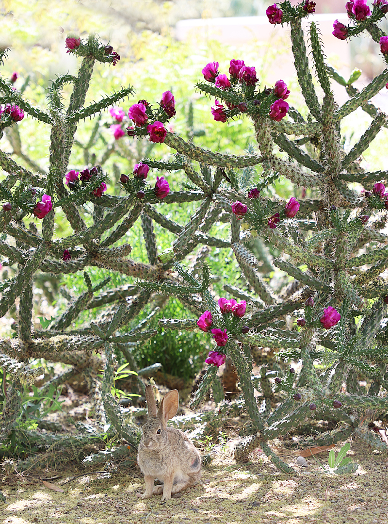 red blooming cactus flowers with a bunny