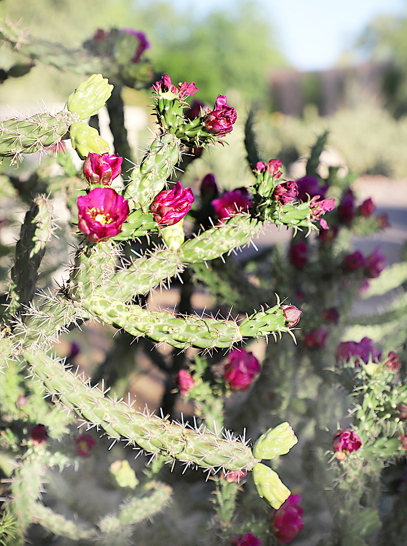 red blooming cactus flowers