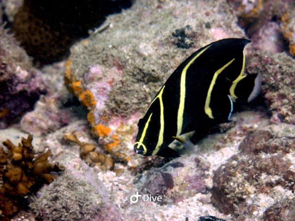 peixefradejuvenil