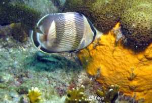 peixeborboleta