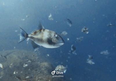 peixe-porco