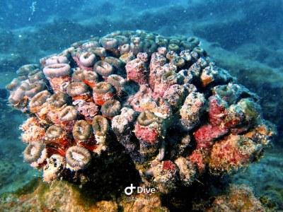 coralmussismilia