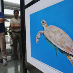 My green sea turtle (Chelonia mydas) photo featured at the Tubbataha Reef 25th Anniversary Exhibit