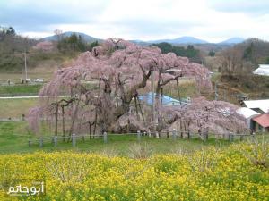شلالات الكرز - شجرة الكرز