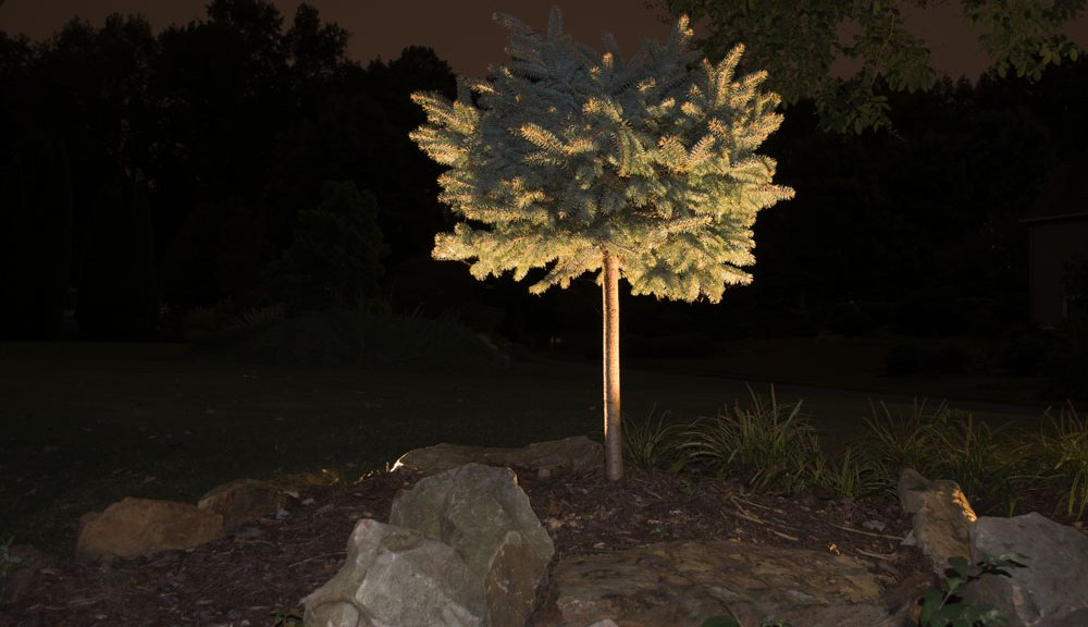 Spruce specimen tree with up-lights.