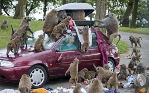 قرود تهجم على سيارة