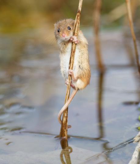فأر يحاول تسلق عود