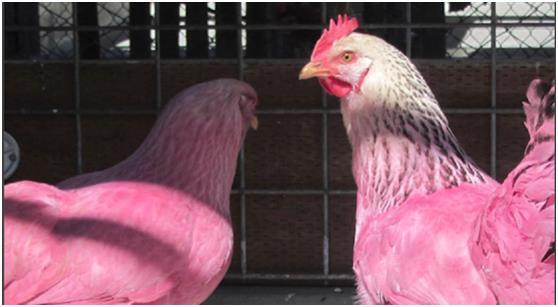 دجاج باللون الوردي