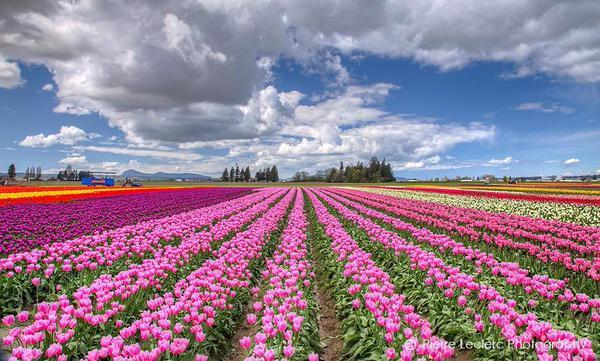 حقول الزهور الرائعة في هولندا