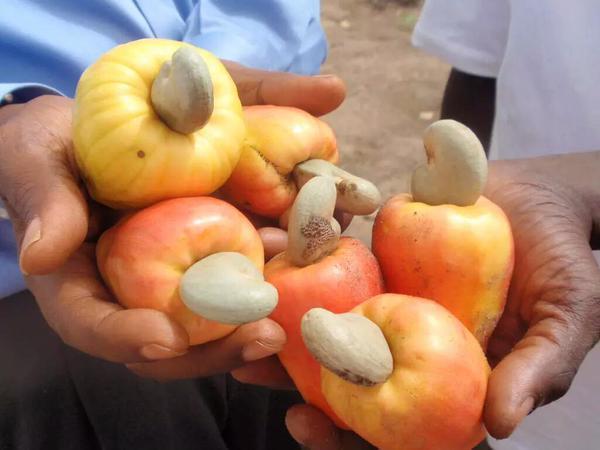شجرة الكاجو