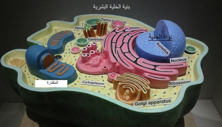 نواة الخلية