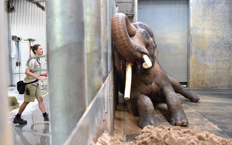 تغسيل فيل