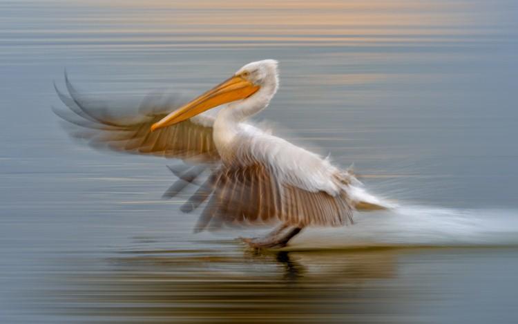 طائر البجع