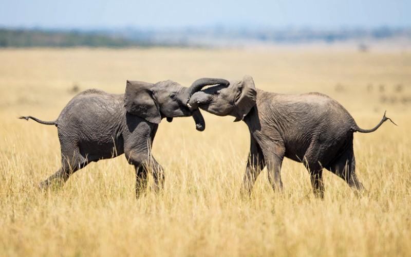 فيلة متصارعة