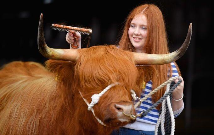 مسابقة لعرض البقر 2306161