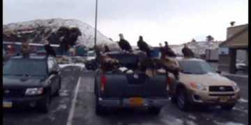 تجمع 40 نسر فوق شاحنة