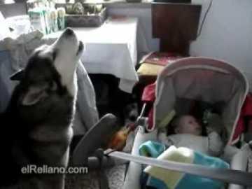 ذئب يوقف طفل عن البكاء