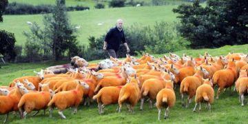 sheep are orange