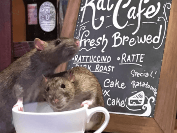 A Café Is Charging $50 To Drink Coffee Surrounded By Rats