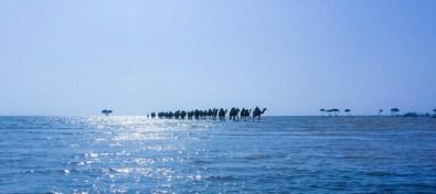 منوعات: قافلة من الجمال تبحث عن الغذاء على شاطئ جازان، والمزيد..