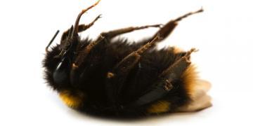 bees die