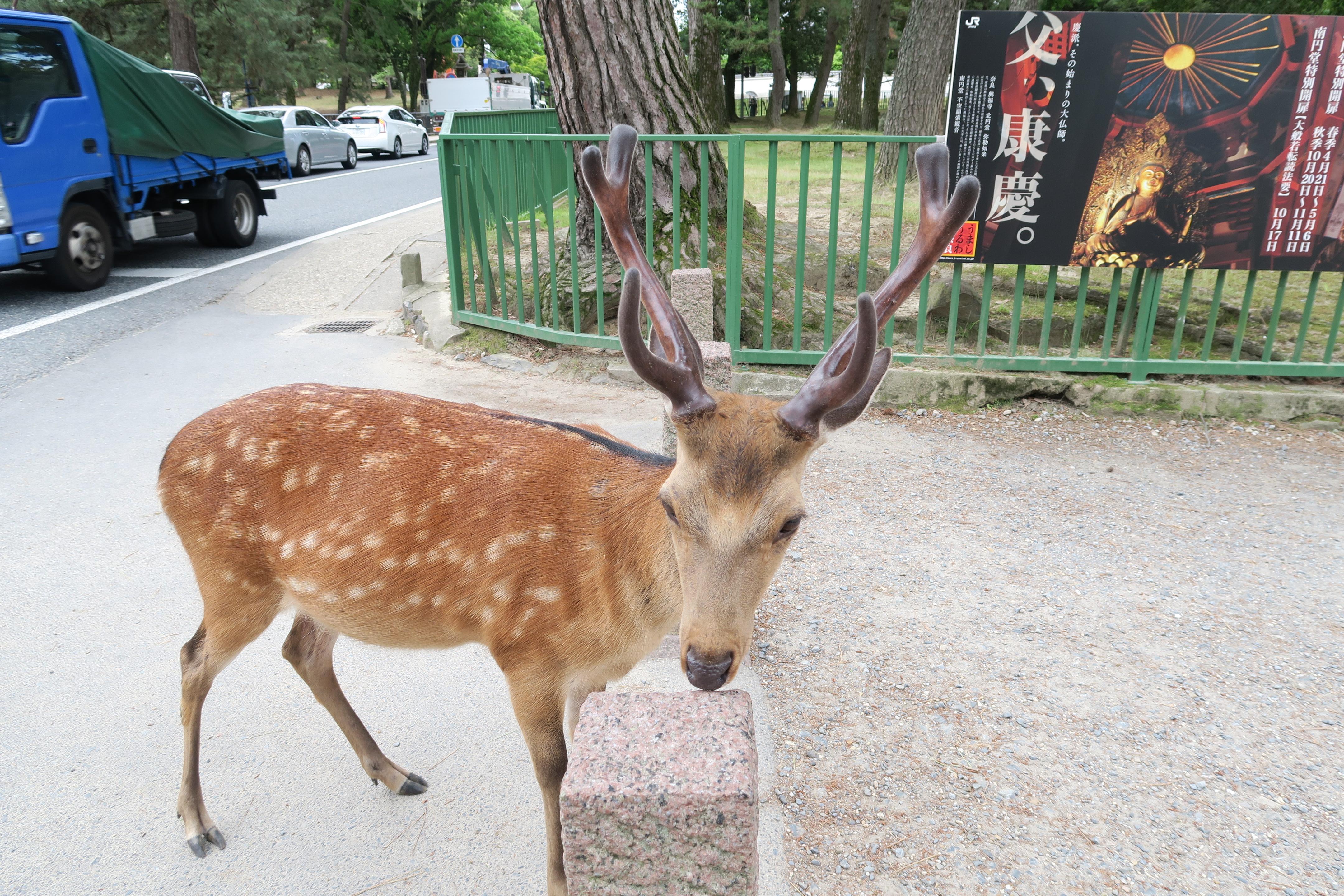 鹿の赤ちゃんに癒やされる♪♪ 春日大社境内の鹿苑で実施中の「子鹿公開