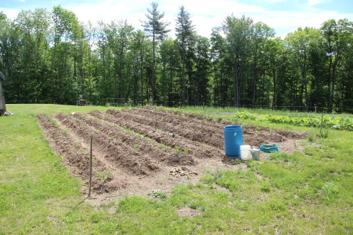 Crops waiting for a roof and support (Future Greenhouse Site)