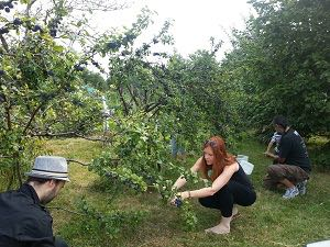 Abundance London damson-picking