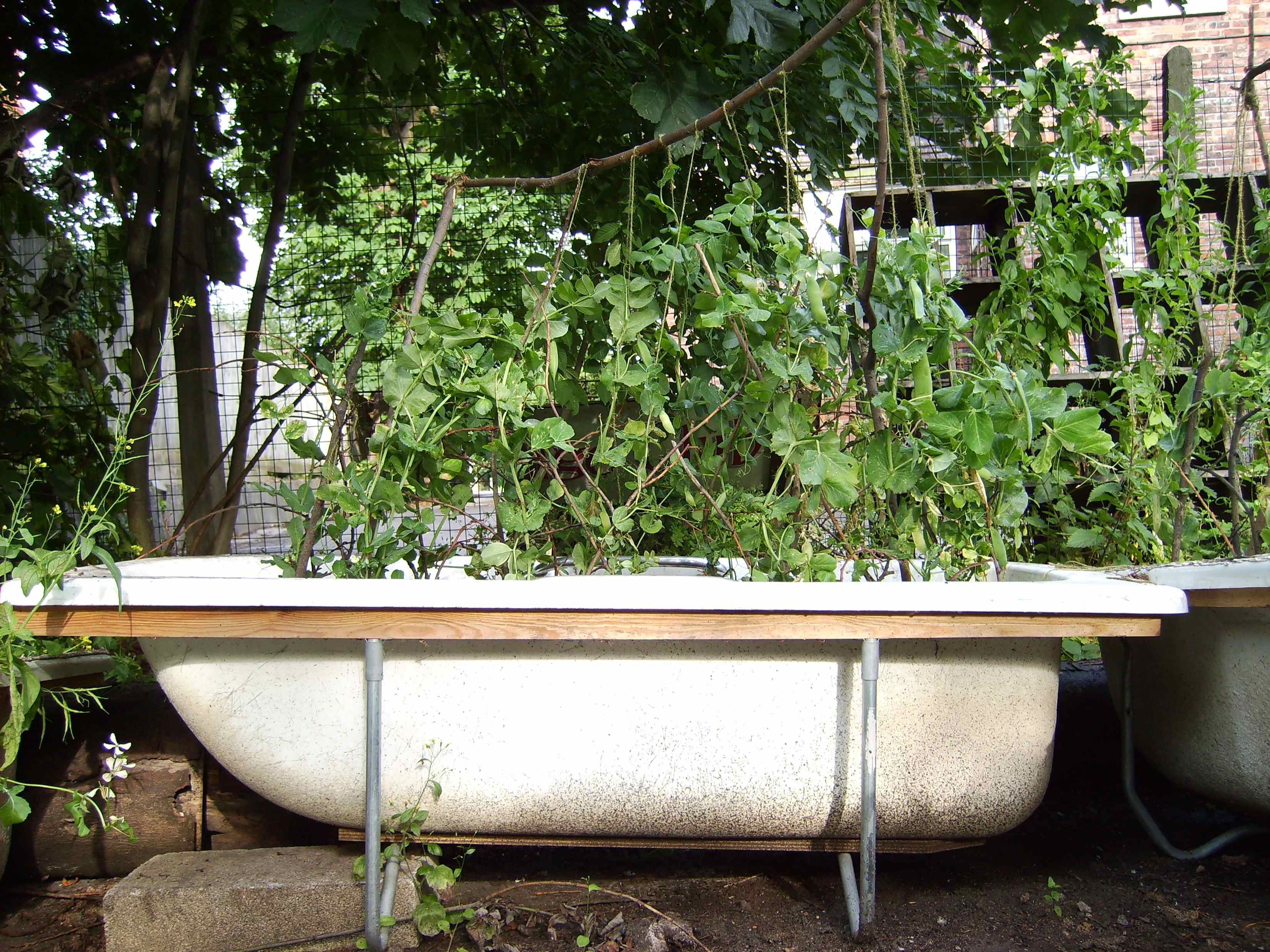 Peas harvested from this bath