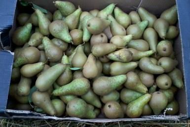 Pear Gluts 2013-09-08 16.37.13
