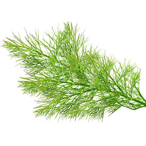 Fresh Organic Fennel Fronds Herbs