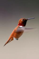 Le Chant Du Colibri Tirage : chant, colibri, tirage, Symbole, Colibri, Auteur, Katia, DUMAIL