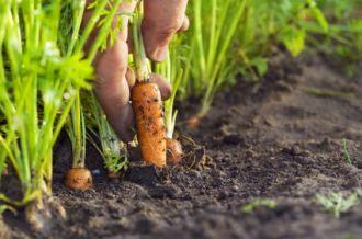 12108_carrotsfromtheground.jpg